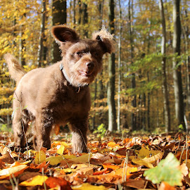Schokolina in autumn by Carola Mellentin - Animals - Dogs Portraits