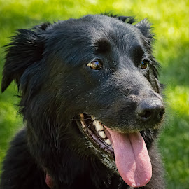 Black Lab by Dave Lipchen - Animals - Dogs Portraits ( black lab )