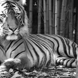 by Juan Tortosa Lobato - Animals Lions, Tigers & Big Cats
