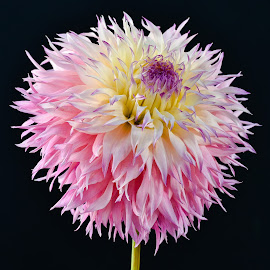 HEAD Dress Dahlia by Jim Downey - Flowers Single Flower ( pink, white, yellow, black, purple )