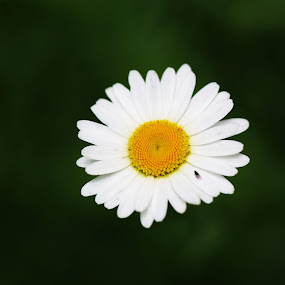 Buggy Daisy by Lee Chase - Flowers Single Flower ( white flower daisy bug nature macro )