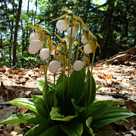 White Lady Slippers by Mike Kennedy - Nature Up Close Other plants ( white flower, endangered species, lady slipper, rare, orchids )