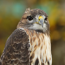 Buse variable by Gérard CHATENET - Animals Birds (  )