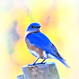 by Teresa Wooles - Animals Birds ( blue, bird, blue bird )