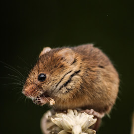 Harvest mouse by Garry Chisholm - Animals Other Mammals ( mice, garry chisholm, mouse, nature, wildlife, harvest, rodent )