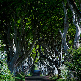 Dark Hedges by Sanil Photographys - Nature Up Close Trees & Bushes ( ireland, northernireland, nature, bushes, games of thrones, belfast, sanilphotography, trees, dark hedges, tree tunnel )