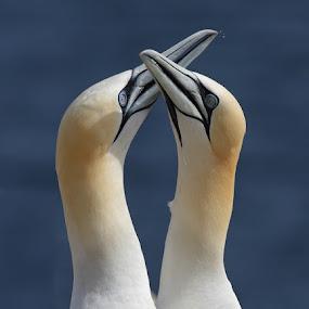 Northern Gannets by Mircea Costina - Animals Birds ( northern, love, wild, gannet, morus, bassanus, pair, wildlife, couple, birds )