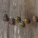 Multicolored Asian Lady Beetles and Pupas