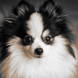 Panda by Michal Challa Viljoen - Animals - Dogs Portraits ( pose, sexy, panda, black and white, gorgeous, beautiful, dog portrait, fluffly, cute, dog, nose, eyes,  )