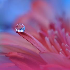 Prism... by Juliana  Nan - Nature Up Close Natural Waterdrops ( detail, reflection, water drops, drop, colors, fine art, refraction, close up, macro, nature, blue, pink, nikon, flower )
