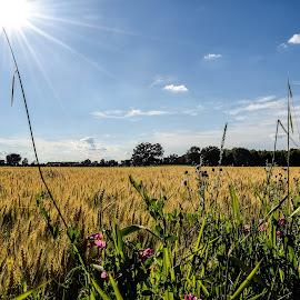 Beaver Dam Grain field by Jason Lockhart - Landscapes Prairies, Meadows & Fields ( clouds, wisconsin, sweet pea flowers, blue sky, beaver dam, grain field )
