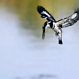 Hover by Pieter J de Villiers - Animals Birds ( limpopo, mapungubwe national park, animals, maloutswa hide, south africa, kingfisher, hovering pied kingfisher, pied kingfisher, hover, africa, birds )