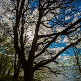 Black tree by Nicklas Sjoberg - Landscapes Forests ( water, sunsetting, tree, blue, bark, ocean, sunrise, evening )