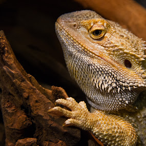 Bearded by John M. Larson - Animals Reptiles ( canon, lizard, 7d, scales, dof, reptile,  )