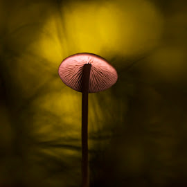 Mushroom in magic light by Dumitru Doru - Nature Up Close Mushrooms & Fungi ( mushroom, red, autumn, sunset, forest, natural, light )