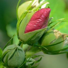 Flower Buds by Ray Ebersole - Flowers Flower Buds (  )
