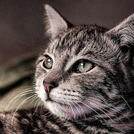 Portrait  by Melanie Pond - Animals - Cats Portraits ( cat, kitten, beautiful, kittens, portrait )