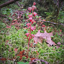 Striped Coralroot