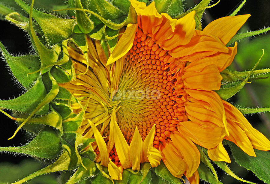 Sunflower opening by David Winchester - Nature Up Close Flowers - 2011-2013 ( hope )