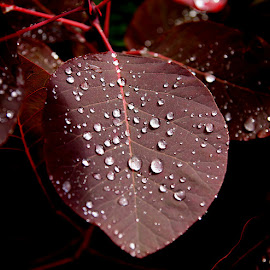 rain on leaf by Caroline Beaumont - Nature Up Close Leaves & Grasses ( red leaf, ruscatinus, leaf, rain drops, rain )