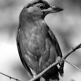 Bird  by Asif Bora - Black & White Animals (  )