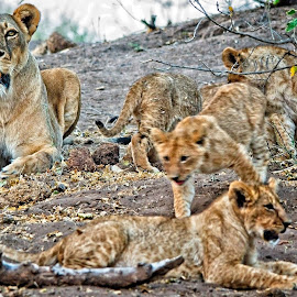 by Eugene Dopheide - Animals Lions, Tigers & Big Cats ( lions )