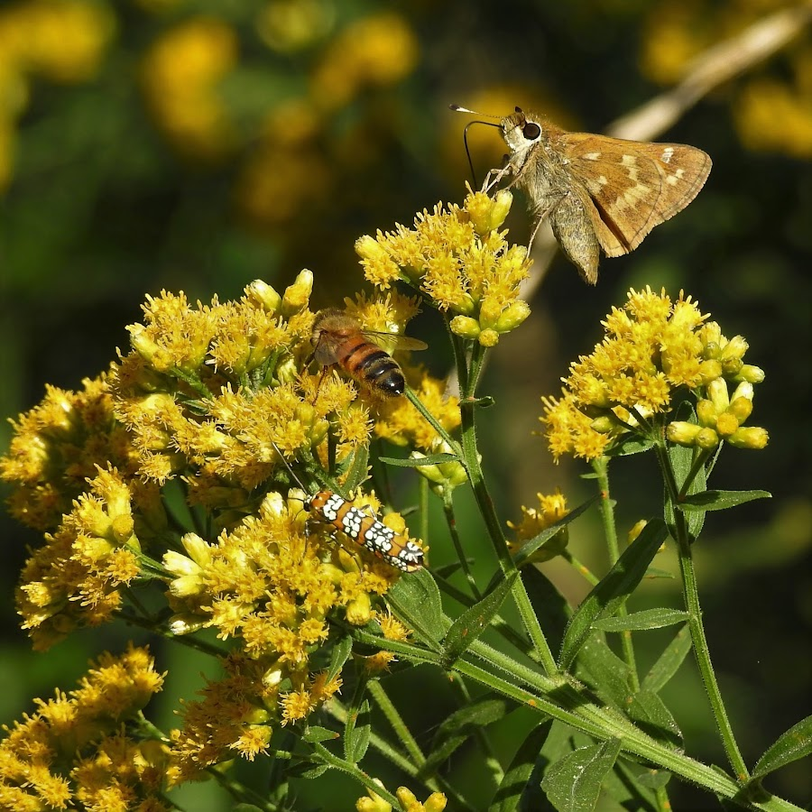 flying critters on goldenrod by Mary Gallo - Nature Up Close Other Natural Objects ( flying insects, fall colors, butterflies, yellow goldenrod, nature up close, insects,  )