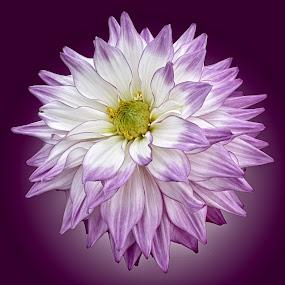 AYLI dahlia 35 17 by Michael Moore - Flowers Single Flower (  )