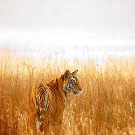 Tiger rising by Vijay Nagarajan - Animals Lions, Tigers & Big Cats ( cats, tiger, wildlife, india, mammal )