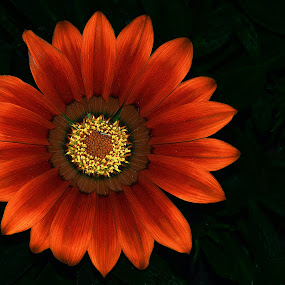 by Dinesh Pandey - Flowers Single Flower (  )