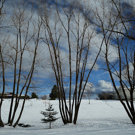 Tall trees. by Denton Thaves - Nature Up Close Trees & Bushes ( beyond is blue skies )