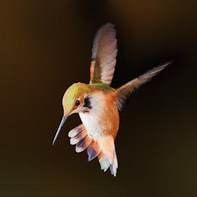 Rabble-rouser II by Briand Sanderson - Digital Art Animals ( bird, hummingbird, digital art, rufous hummingbird, rufous, animal )