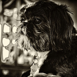 Mickey  by Alan Cromer - Animals - Dogs Portraits