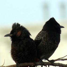 The Bulbul by Anumita Das - Animals Birds ( bulbul, nature, birds, animal )