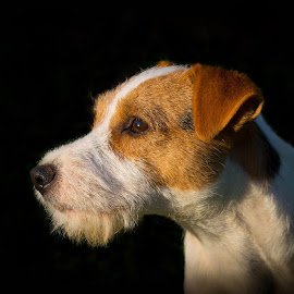 by Amy Humphrey - Animals - Dogs Portraits ( medium quality, in focus, too dark )