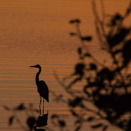Heron at Sunset by Peter Wilkins - Nature Up Close Water