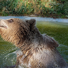 Big Bear Splash! by Fiona Etkin - Animals Other Mammals ( nature, action, animal, brown bear, playing, cooling off, water, splashing about, fun, shaking,  )