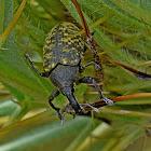 True Weevil