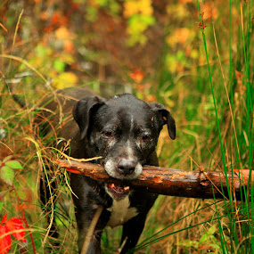 Stick by Todd Ratisseau - Animals - Dogs Playing ( awesome color, dog, cute dog )