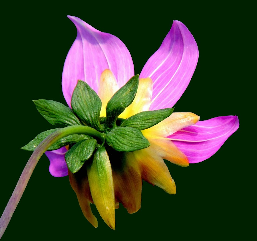 dahlia by SANGEETA MENA  - Flowers Flowers in the Wild