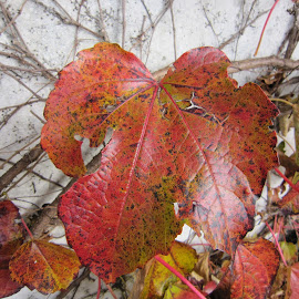 Walensee, St Gallen, Switzerland by Serguei Ouklonski - Nature Up Close Leaves & Grasses ( red, close up, leaves, nature, grapevine, autumn )
