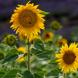 Sunflowers by Stanley P. - Flowers Flowers in the Wild
