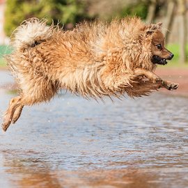 LEAP OF FAITH by Michael  M Sweeney - Animals - Dogs Running ( puppy, michael m sweeney, run, dog, runing, pomeranian, jump )