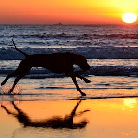 Rhodesian Ridgeback by Mariusz Murawski - Animals - Dogs Running ( dog beach, rhodesian ridgeback, san diego )