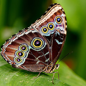 Morpho multicolor by Gérard CHATENET - Animals Insects & Spiders