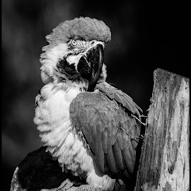 Blue and Yellow Macaw by Dave Lipchen - Black & White Animals ( blue and yellow macaw )