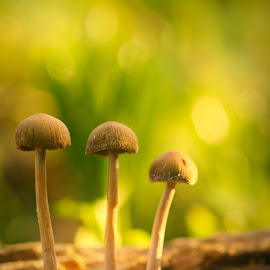 Three little mushrooms by Yani Dubin - Nature Up Close Mushrooms & Fungi ( mushroom, gimp, bright, fungus, yellow, bokeh, ernle clark reserve, colour, macro, fungi, nature, tokina af 100mm f2.8 macro, artsy, focus, gold, darktable, light, macrophotography, canterbury, sharp, green, new zealand, high key, winter, color, christchurch, d7000, brown, dof )