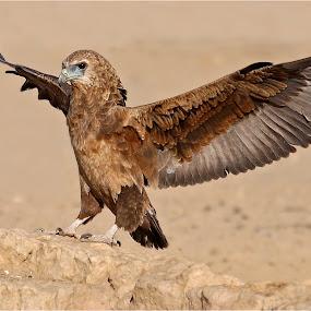 bataleur on rock by Geo Jooste - Animals Birds
