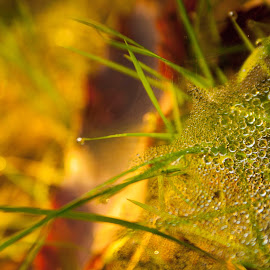 Mist by Aredhel Tasartir - Nature Up Close Webs ( nature, grass, dew, ground, web, dew drops, spider web )