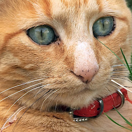 Mr Henry's eyes by Dobrin Anca - Animals - Cats Portraits ( cat, green, brittany, garden, eyes,  )